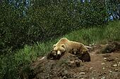 Brown Bear Mother & Cubs Outside Den SW AK Summer McNeil Game ...